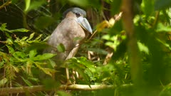 Boat billed heron in Panama standing on branch in the nature