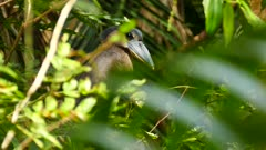 Exotic boat-billed heron perched awaiting in wild Panama jungle