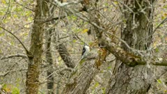 Alert hairy woodpecker looks for predators