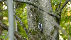 Hairy woodpecker looks for food in mossy tree trunk