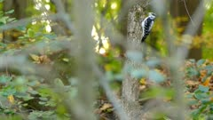 Hairy woodpecker pecking a small tree trunk