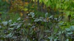 Small bird moving a shrub