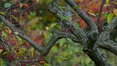 American robin eats berries in a tree