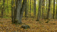 A beech and maple forest in the fall