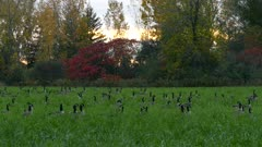 Canada geese in field near colourful autumn forest
