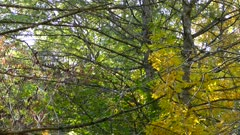 Trees with large branches in an autumn forest