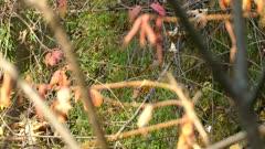 Sparrow in vast array of branch varieties among them a cedar