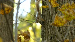 Squirrel hanging upside down of side of tree in territorial position