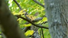 Thrush bird in summer breathing fast