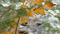 Yellow fall leaf intertwined with evergreen pines in beautiful mixed forest
