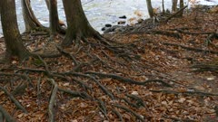 Intertwined visible roots of mature trees among dried autumn leafs on river shore