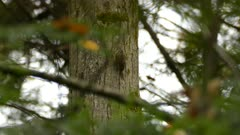 Brown Creeper bird ''creeping'' up the side of a tree and searching in moss