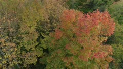 Slow aerial turning shot around a pretty tree in fall colors within other green ones