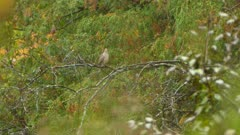 Mourning dove repositioning on branch during light fall is only thing it can do