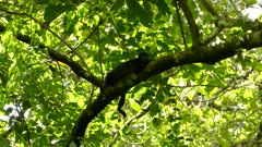 Female Howler Monkey resting in a tree