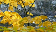 Beautiful tree leaves in yellow shades on special geological river shore behind