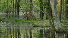 Beautiful wetland conservation scenery with deer doe and mother on water