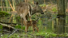 Cuteness overdose awaits when baby fawn struggles to follow mother