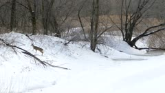 Young deer climbing embankments of a river covered in thick snow in winter