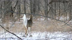 White-tailed deer showing off and exposing its indeed thick white tail
