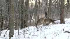 Extended one minute shot of deer walking in snow next to frozen ponds