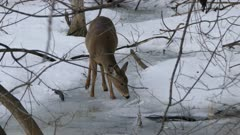 Nice healthy looking deer advancing prudently on icy grounds in cold winter