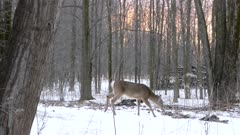 Smaller deer walking steady pace while grazing over brush through snow