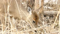 Closeup of head and neck of white tailed deer in late winter early spring