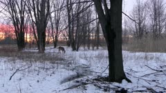 Magenta sunset over winter open forest with a deer in its natural habitat