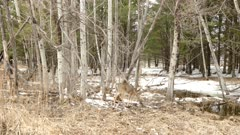 Pan shot of beautiful mixed forest scenery in early winter home to a deer