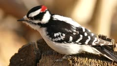 Super macro closeup of hairy woodpecker investigating dead tree trunk