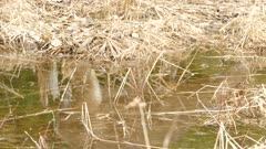 Cool shot showing deer in reflection of natural puddle made by spring thaw