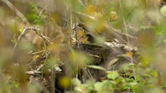 Lovely quick wild warbler bird thriving on healty pure forest floor detritus