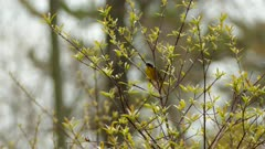 Beautiful common yellowthroat warbler bird perched atop tree with fresh buds