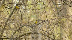 Two male yellow warblers within the same shot jumping on dry branches