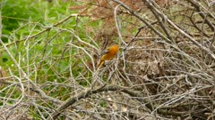 Female baltimore oriole bird displays stunning agility while gathering twigs