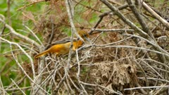 Orange bird frantically pulls on found natural rope to use as building material