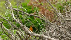 Pile of trash wood branches in the wild becomes home to baltimore oriole