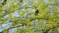 Superb black throated green warbler bird migrating to Loint Point in Canada