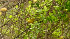 Striking yellow warbler male with faded red bars on its breast on green leaves