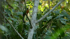 Great jacamar bird perched in jungle during sun down with last rays of light