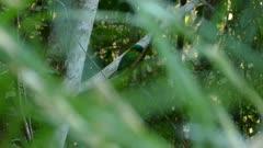 Sneak peek thru palm leaves reveals a magical bird called the great jacamar