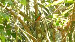 Jacamar perched on jungle liana jumps to turn around and back to other side
