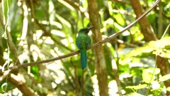 Superb jacamar bird perched in Panama looking around before taking off