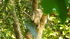 Back view of sloth very slowly moving and awakening on this pretty morning