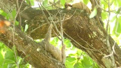Pair of sloths sleeping in the fresh breeze of the jungle's canopy in Costa Rica
