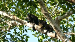 Mantled howler monkey growling loudly while standing near precious family