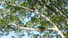 Howling intermittently coming from group of howler monkey in mature tree