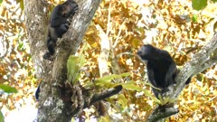Black monkey jumping onto another branch while companion stays put