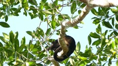Howler monkey puts aside the leaf he is eating to howl loudly with noise